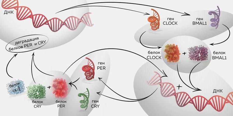 Принцип работы периферических часов в организме