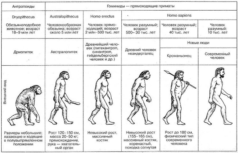 По стадиям эволюции человека можно проследить резкий скачок развития между Homo erectus и Homo sapiens.
